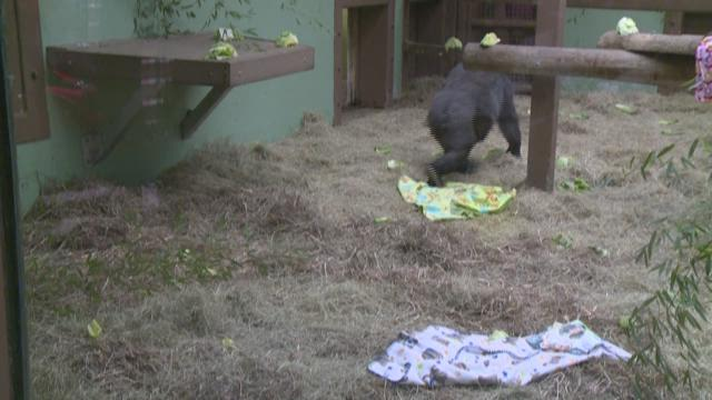 Knoxville Zoo on Baby Watch for Expecting Gorilla