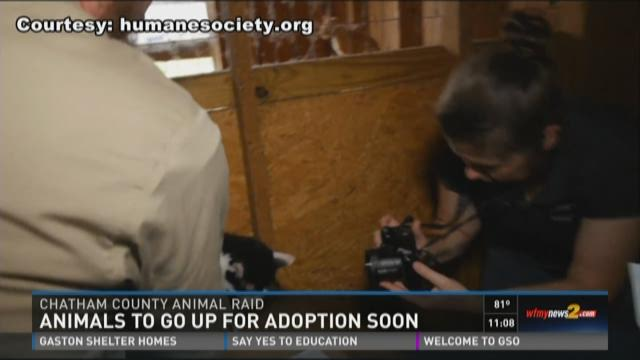 Volunteers corral a calf during the Humane Society
