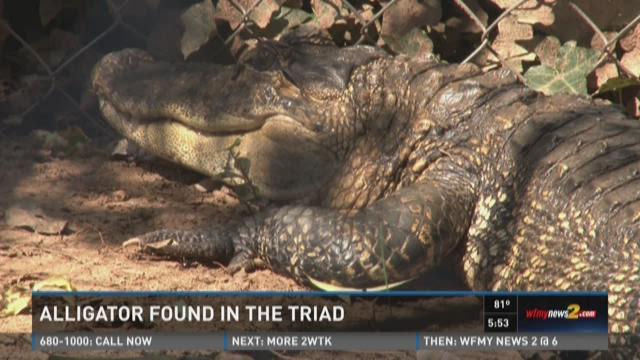 Alligator Found In Winston-Salem