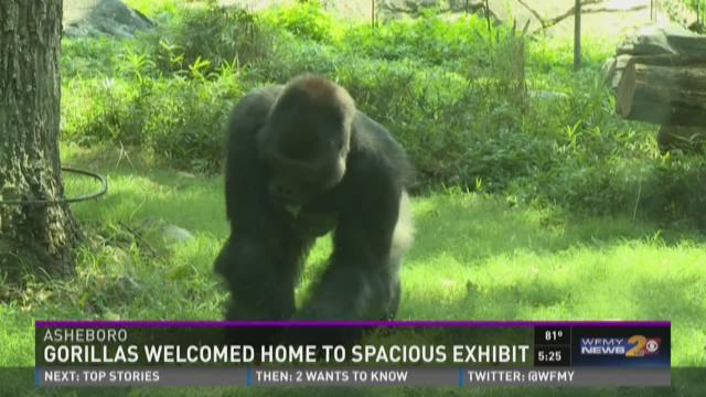Gorillas Welcomes Home To Spacious Exhibit